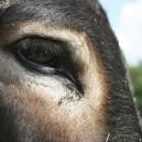 Visite d'un élevage d'ânesses laitières