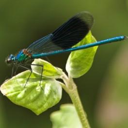 Découverte des libellules des mares et autres points d'eau...