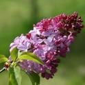 Visite de la pépinière départementale pendant la floraison des Lilas